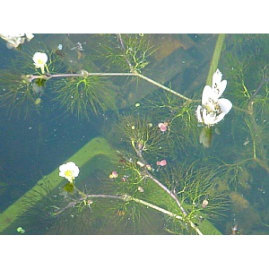 Ranunculus Aquatilis-Water Crowsfoot