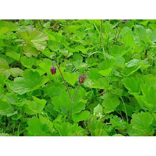 Geum Rivale-Water Avens