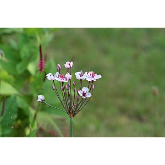 Butomus Umbellatus-Flowering Rush