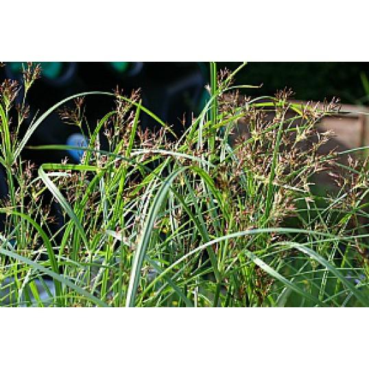 Cyperus Longus-Sweet Gallingale