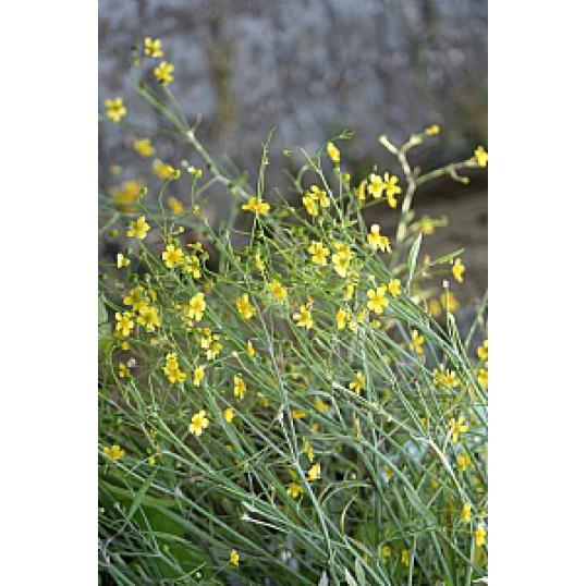 Ranunculus Flammula-Lesser Spearwort