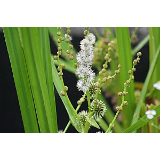 Sparganium Erectum-Branched Burr Reed