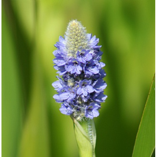 Pontederia Lanceolata