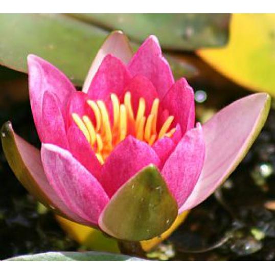 Pygmaea Rubra