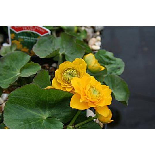 Caltha Palustris Flore Plena-Double Marsh Marigold