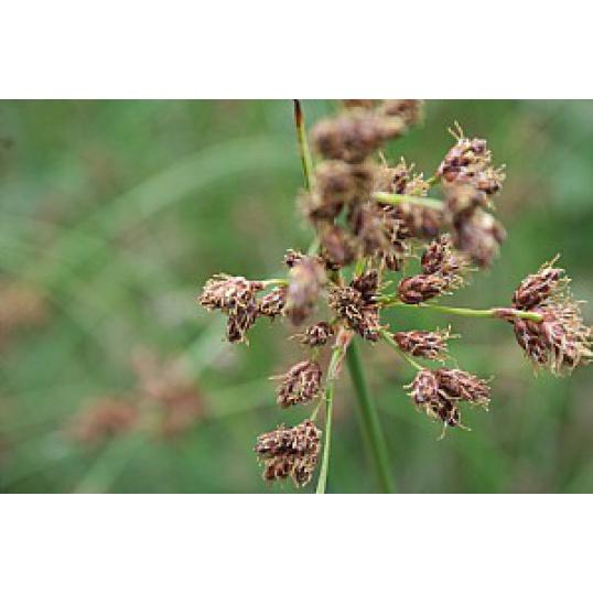 Scirpus Lacustris-True Bulrush