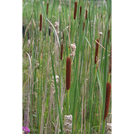 Typha Angustifolia-Narrow Leaved Reed Mace