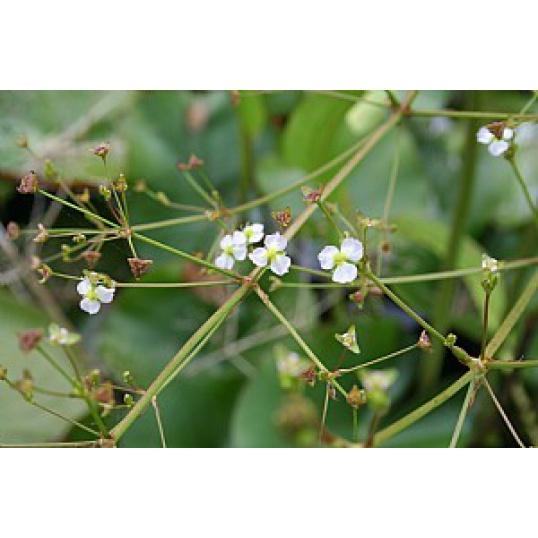 Alisma Plantago-Water Plantain