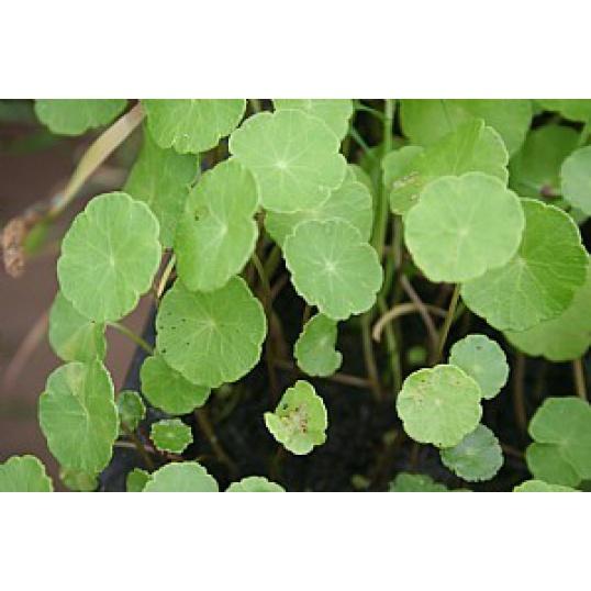 Hydrocotle Vulgaris-Marsh Pennywort