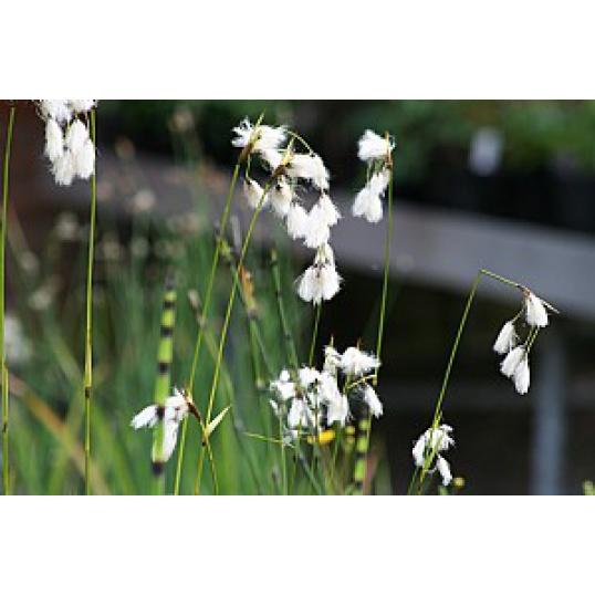 Eriophorum Latifolium-Cotton Grass