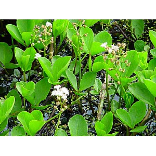 Menyanthes Trifoliata-Bog Bean