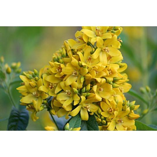 Lysimachia Vulgaris-Yellow Loosestrife