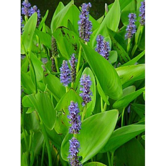 Pontederia Cordata-Pickerel Weed