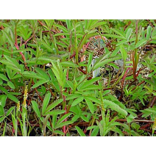 Potentilla Palustris-Purple Marshlock
