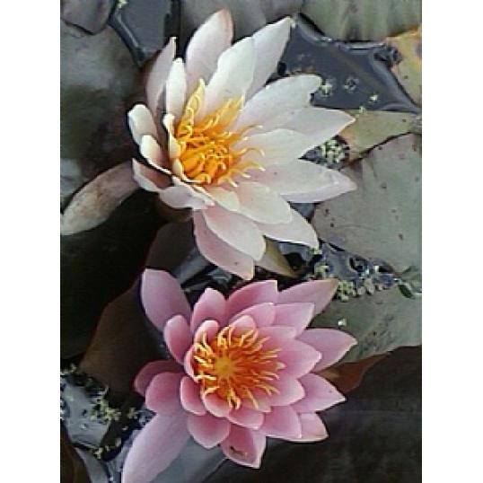 Rose Nymphe