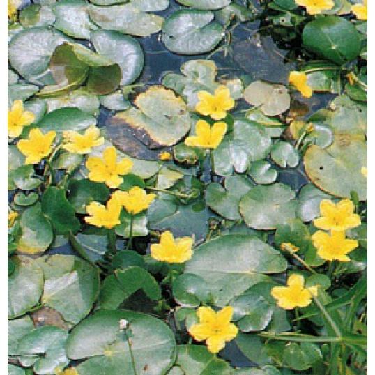 Villarsia Nymphoides Peltata-Water Fringe