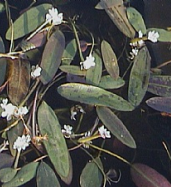 Aponogeton Distachyum-Water Hawthorn