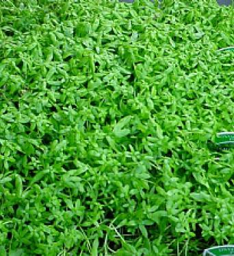 Callitriche  Stagnalis Starwort