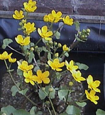 Caltha Palustris-Marsh Marigold
