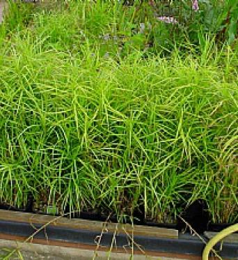 Carex Muskingmensis-Umbrella Flat Sedge