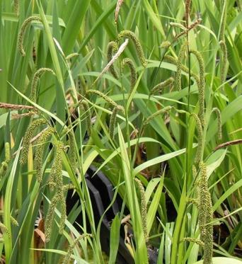 Carex Pendula-Weeping Sedge