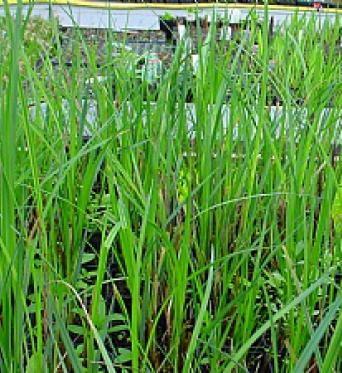 Carex Riparia-Greater pond Sedge