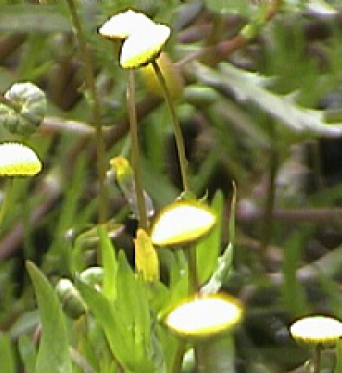 Cotula Coronopifolia-Golden Buttons