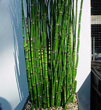 Equisetum Japonicum-Horse Tail