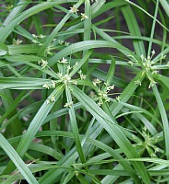 Cyperus Alternifolius-Umbrella Palm