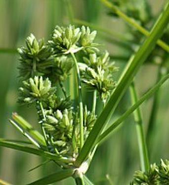 Cyperus Vegatus(eragrostis)