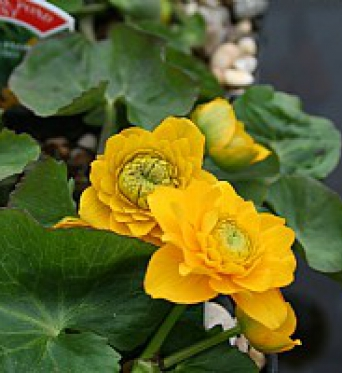 Caltha Palustris Flore Plena-Double Marsh Marigold