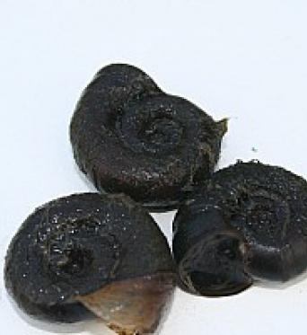 Planorbis Corneus (Ramshorn)