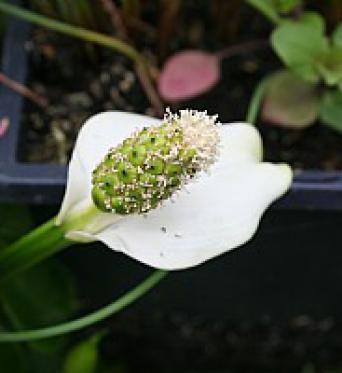 Calla Palustris-Bog Arum