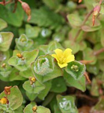 Hypericum Elodes-Marsh St. Johnswort
