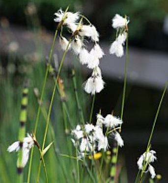 Eriophorum Latifolium-Cotton Grass