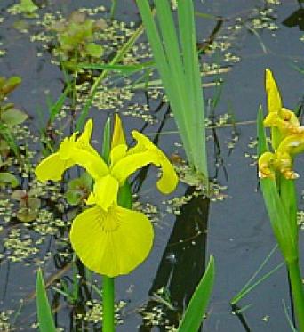 Iris Pseudacorus-Yellow Flag